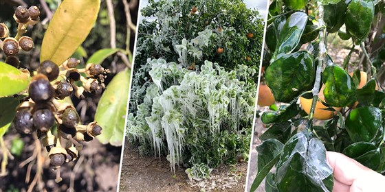 Latino farmworkers are frozen out of work after Texas storm iced citrus, other crops